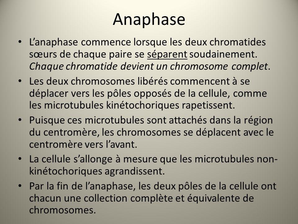 Anaphase L'anaphase commence lorsque les deux chromatides sœurs de chaque paire se séparent soudainement. Chaque chromatide devient un chromosome comp