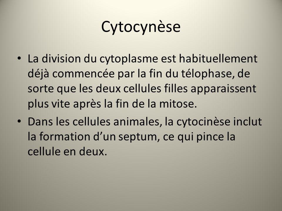 Cytocynèse La division du cytoplasme est habituellement déjà commencée par la fin du télophase, de sorte que les deux cellules filles apparaissent plus vite après la fin de la mitose.