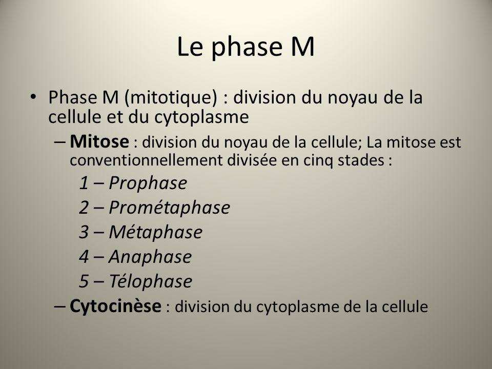 Le phase M Phase M (mitotique) : division du noyau de la cellule et du cytoplasme – Mitose : division du noyau de la cellule; La mitose est conventionnellement divisée en cinq stades : 1 – Prophase 2 – Prométaphase 3 – Métaphase 4 – Anaphase 5 – Télophase – Cytocinèse : division du cytoplasme de la cellule