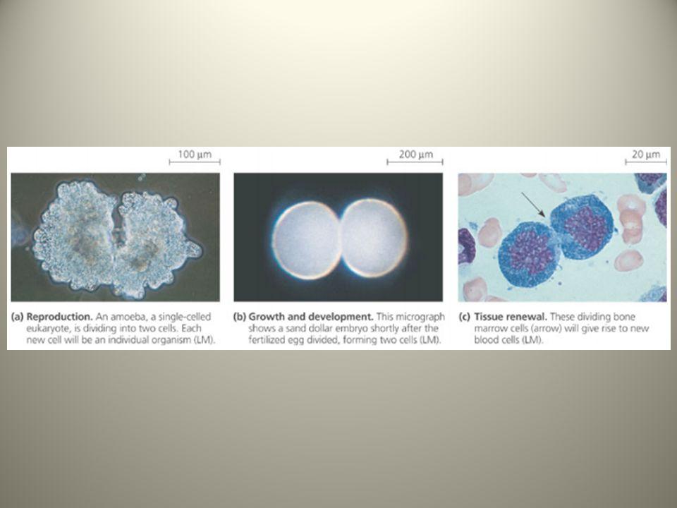 La division cellulaire : des cellules génétiquement identiques La division cellulaire implique la distribution du matériel génétique identique, l'ADN, aux deux cellules filles.