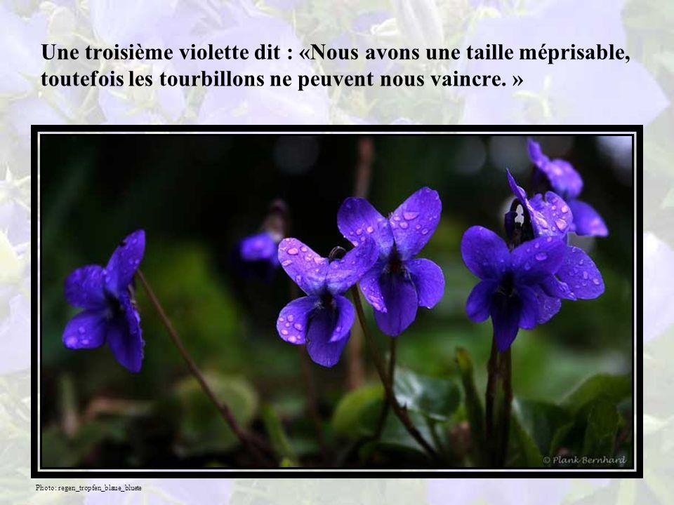 Une autre violette dit : «Nous sommes certes agrippées à la terre, mais nous avons échappé à la colère des tempêtes et des pluies.