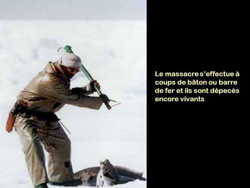 Le massacre s'effectue à coups de bâton ou barre de fer et ils sont dépecés encore vivants