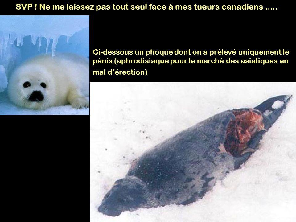 SVP ! Ne me laissez pas tout seul face à mes tueurs canadiens..... Ci-dessous un phoque dont on a prélevé uniquement le pénis (aphrodisiaque pour le m