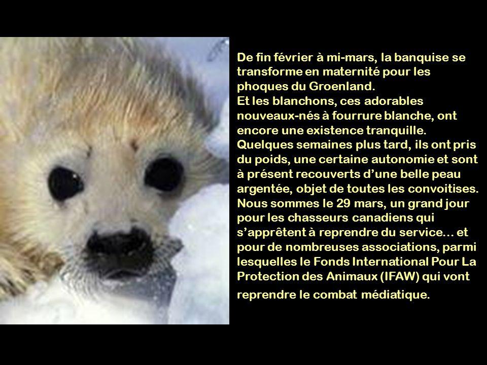 De fin février à mi-mars, la banquise se transforme en maternité pour les phoques du Groenland.