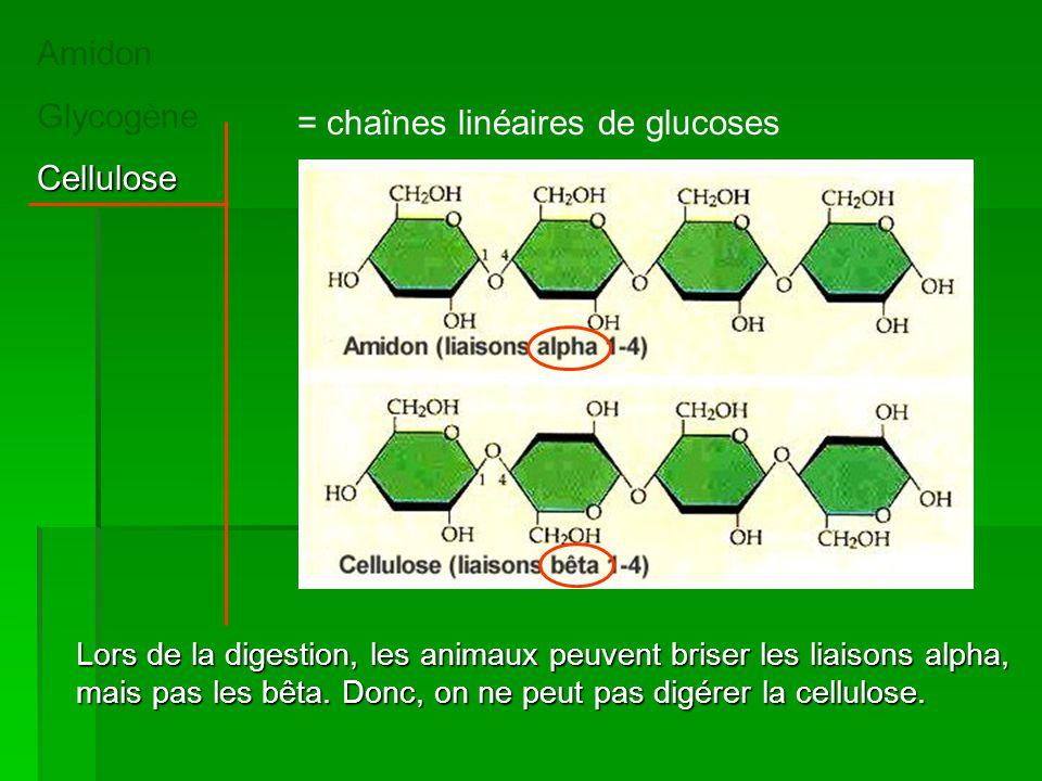 Amidon GlycogèneCellulose = chaînes linéaires de glucoses Lors de la digestion, les animaux peuvent briser les liaisons alpha, mais pas les bêta. Donc