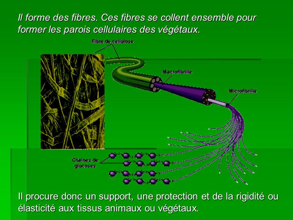 Il forme des fibres. Ces fibres se collent ensemble pour former les parois cellulaires des végétaux. Il procure donc un support, une protection et de