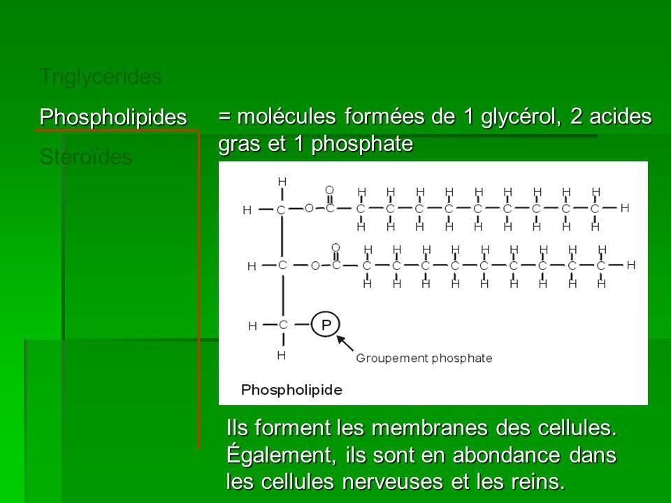 TriglycéridesPhospholipides Stéroïdes = molécules formées de 1 glycérol, 2 acides gras et 1 phosphate Ils forment les membranes des cellules. Égalemen