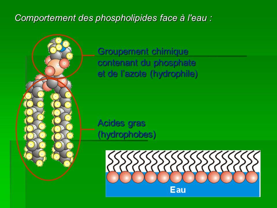Comportement des phospholipides face à l'eau : Groupement chimique contenant du phosphate et de l'azote (hydrophile) Acides gras (hydrophobes)