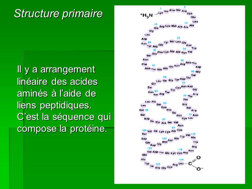 Il y a arrangement linéaire des acides aminés à l'aide de liens peptidiques. C'est la séquence qui compose la protéine. Il y a arrangement linéaire de