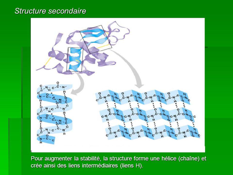 Pour augmenter la stabilité, la structure forme une hélice (chaîne) et crée ainsi des liens intermédiaires (liens H).