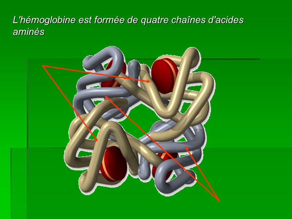 L'hémoglobine est formée de quatre chaînes d'acides aminés