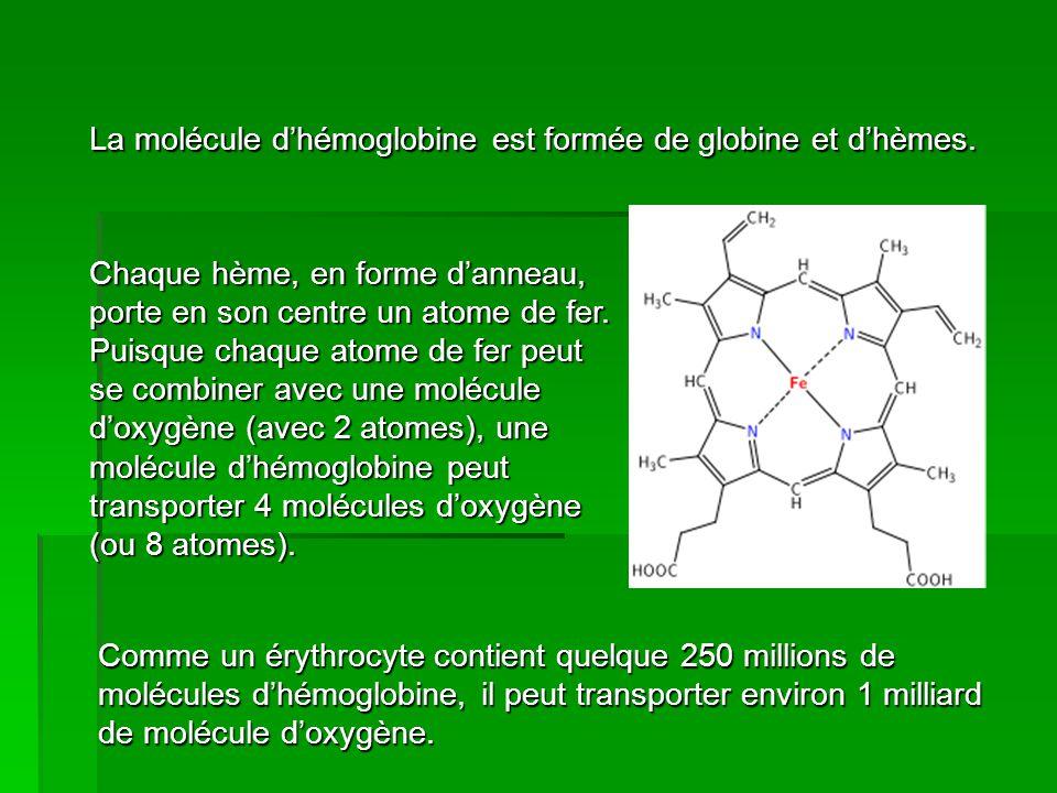 La molécule d'hémoglobine est formée de globine et d'hèmes. Chaque hème, en forme d'anneau, porte en son centre un atome de fer. Puisque chaque atome
