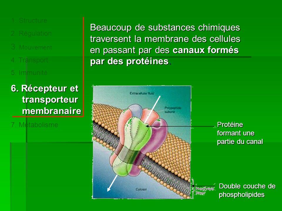 Beaucoup de substances chimiques traversent la membrane des cellules en passant par des canaux formés par des protéines.