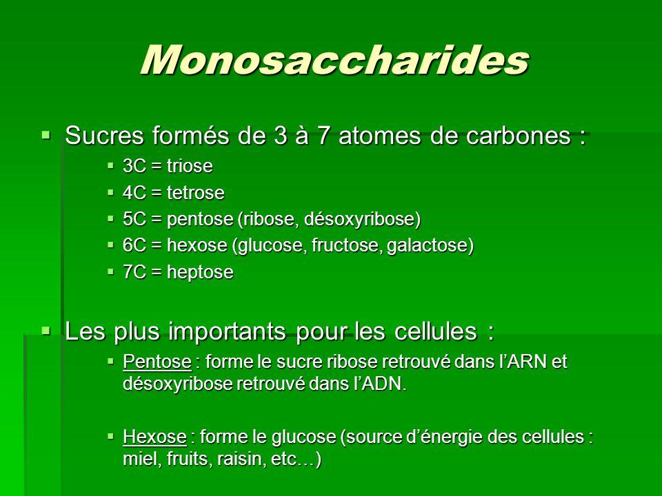 Monosaccharides  Sucres formés de 3 à 7 atomes de carbones :  3C = triose  4C = tetrose  5C = pentose (ribose, désoxyribose)  6C = hexose (glucose, fructose, galactose)  7C = heptose  Les plus importants pour les cellules :  Pentose : forme le sucre ribose retrouvé dans l'ARN et désoxyribose retrouvé dans l'ADN.