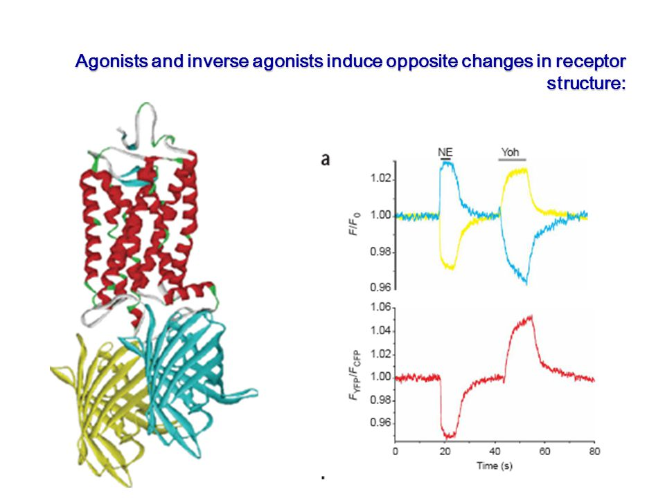 Of Agonists and inverse agonists induce opposite changes in receptor structure: