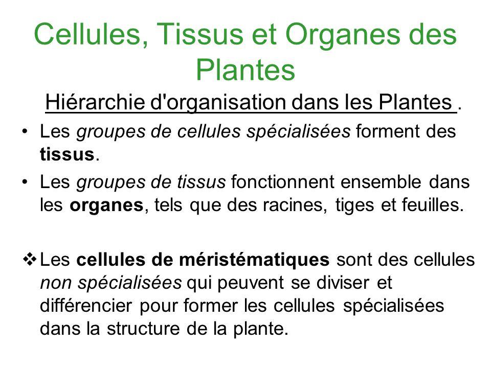 Cellules, Tissus et Organes des Plantes Hiérarchie d'organisation dans les Plantes. Les groupes de cellules spécialisées forment des tissus. Les group