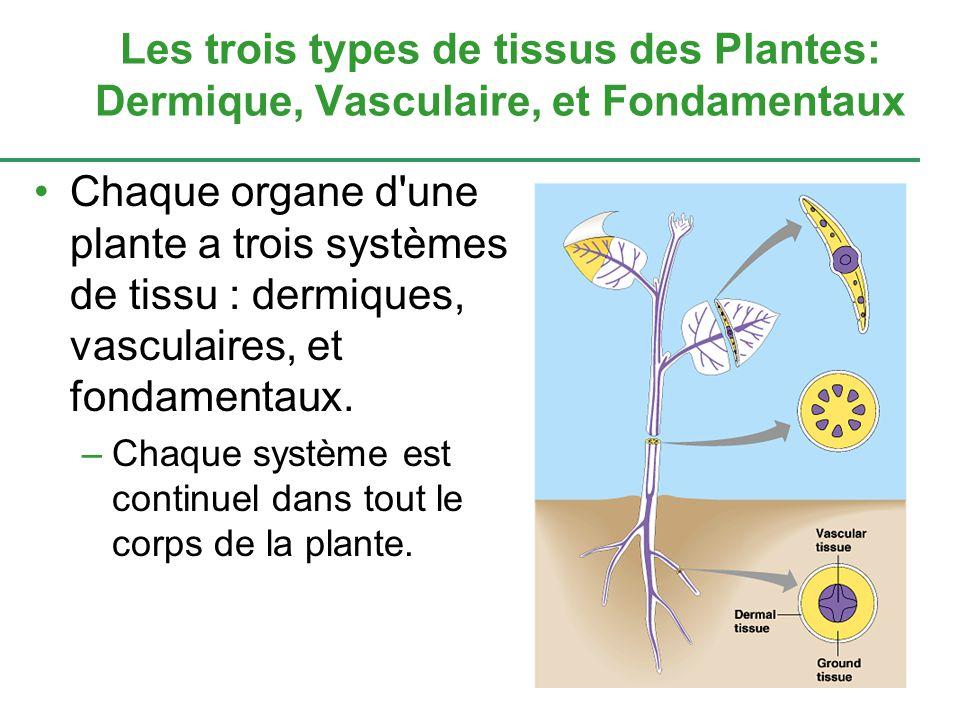 Chaque organe d une plante a trois systèmes de tissu : dermiques, vasculaires, et fondamentaux.