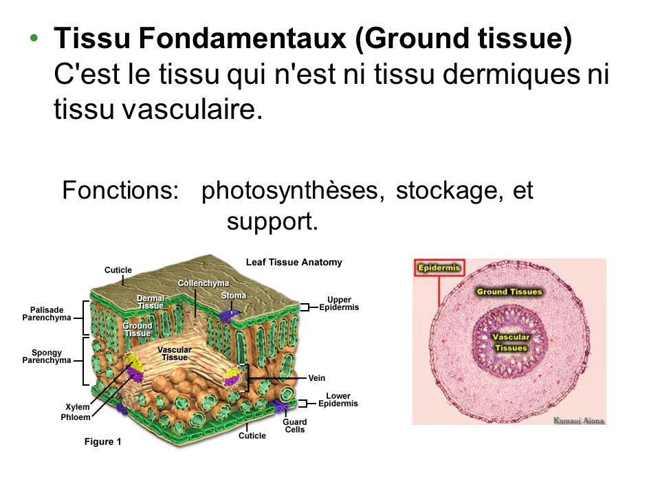 Tissu Fondamentaux (Ground tissue) C'est le tissu qui n'est ni tissu dermiques ni tissu vasculaire. Fonctions: photosynthèses, stockage, et support.