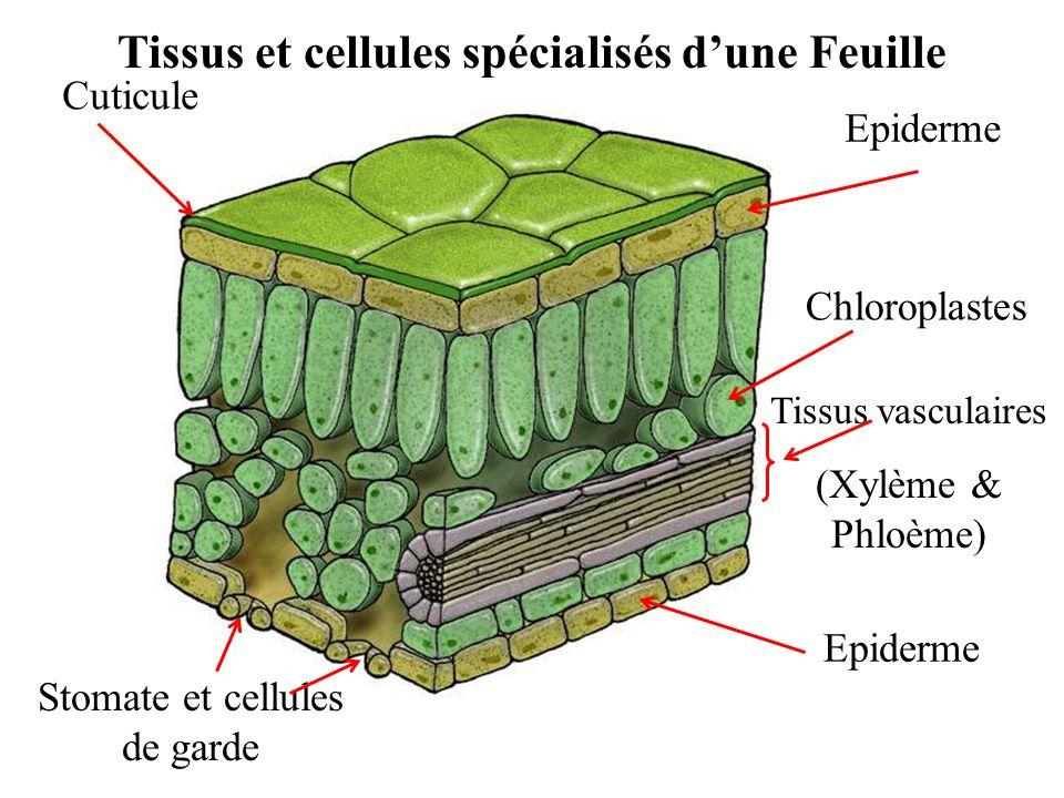 Cuticule Tissus vasculaires (Xylème & Phloème) Stomate et cellules de garde Epiderme Chloroplastes Tissus et cellules spécialisés d'une Feuille