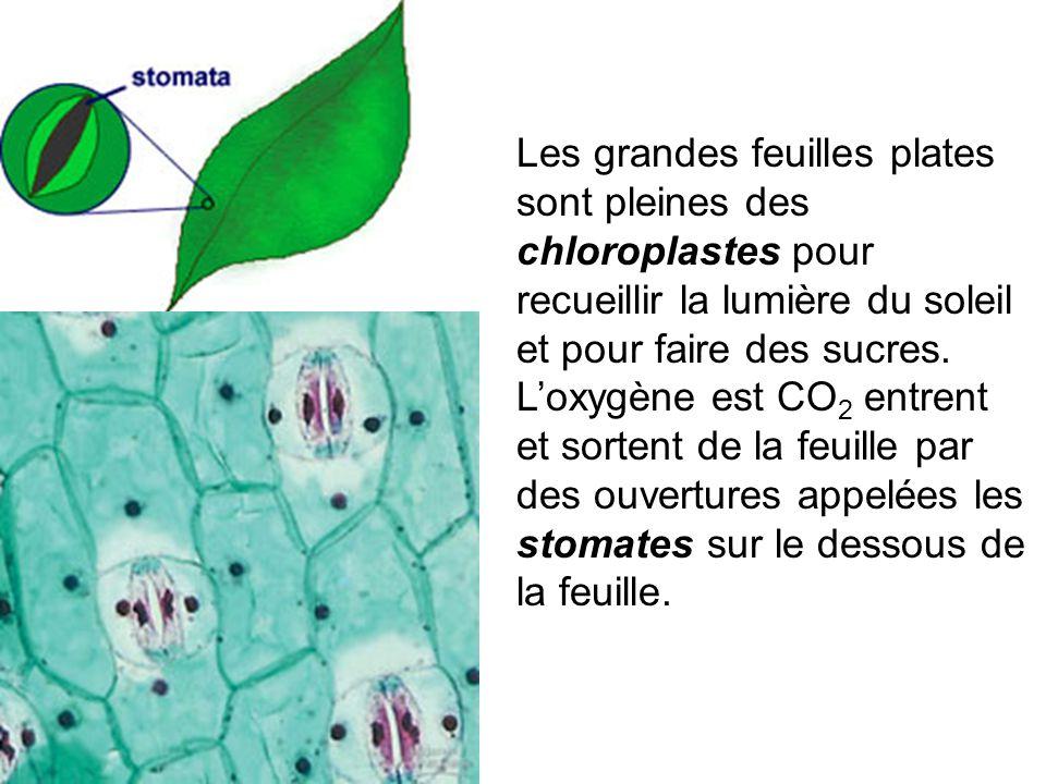 Les grandes feuilles plates sont pleines des chloroplastes pour recueillir la lumière du soleil et pour faire des sucres. L'oxygène est CO 2 entrent e