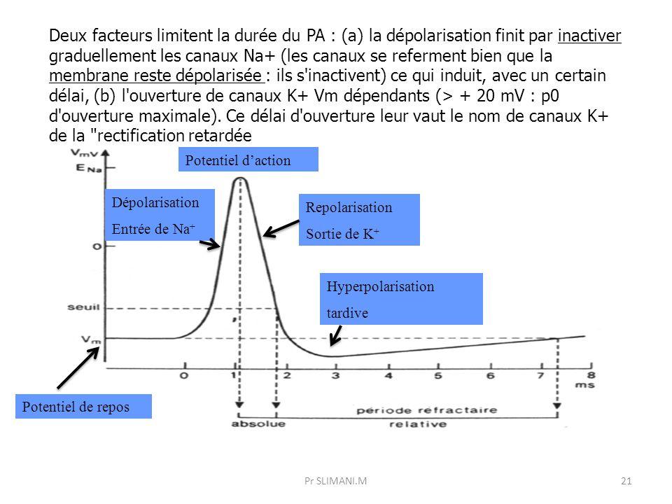 Pr SLIMANI.M21 Deux facteurs limitent la durée du PA : (a) la dépolarisation finit par inactiver graduellement les canaux Na+ (les canaux se referment