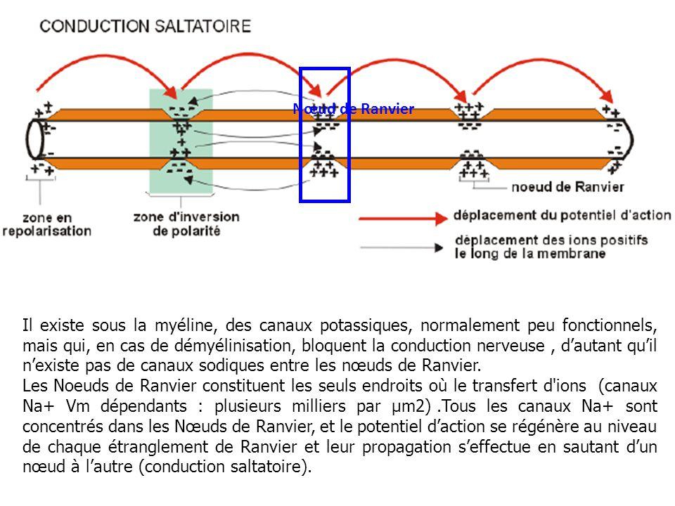 Nœud de Ranvier Il existe sous la myéline, des canaux potassiques, normalement peu fonctionnels, mais qui, en cas de démyélinisation, bloquent la cond