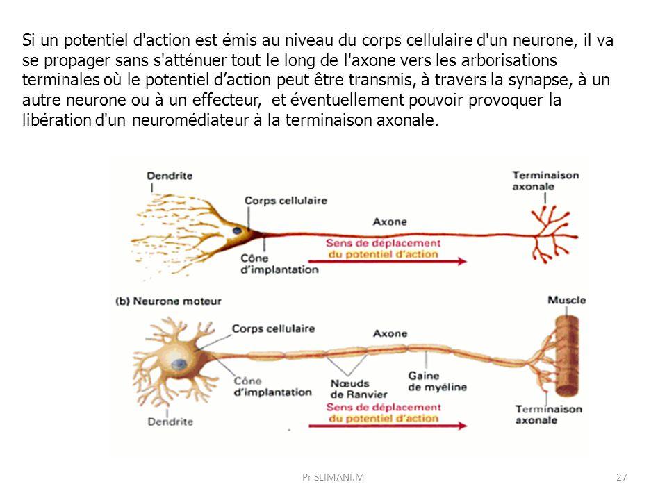 Pr SLIMANI.M27 Si un potentiel d'action est émis au niveau du corps cellulaire d'un neurone, il va se propager sans s'atténuer tout le long de l'axone