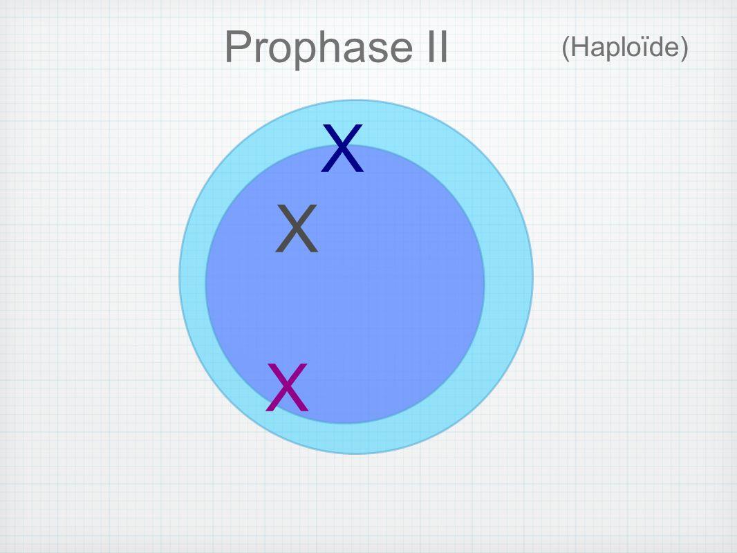 X (Haploïde) Prophase II