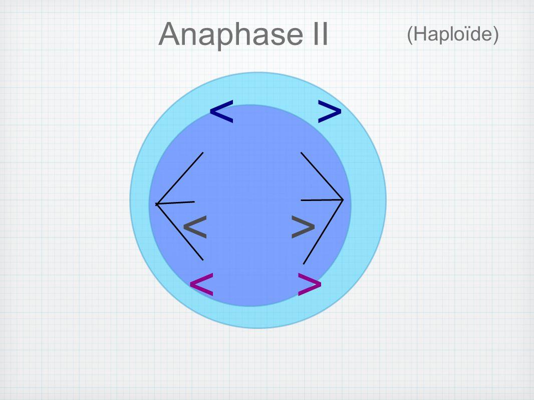 (Haploïde) Anaphase II