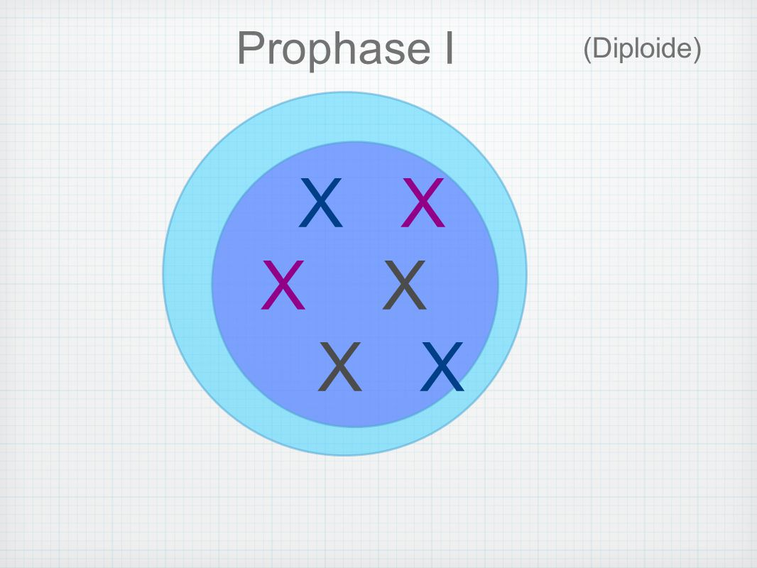 X X X (Diploide) Prophase I