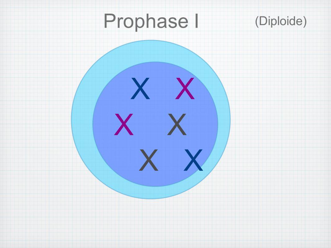 (Haploïde) I Télophase II *Cellules Filles