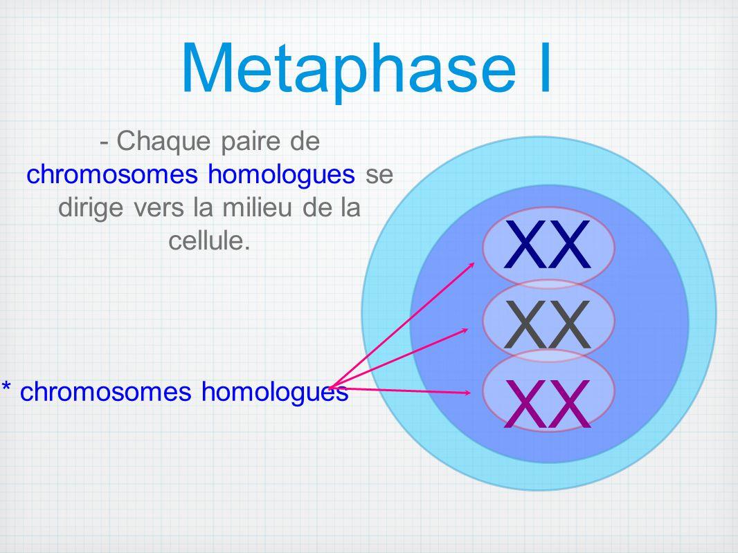 - Chaque paire de chromosomes homologues se dirige vers la milieu de la cellule.