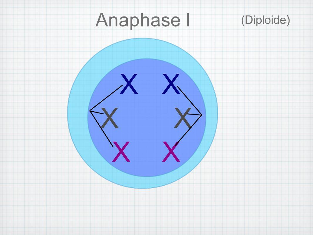 Chaque chromosome de chaque paire d homologues, se dirige vers un pôle opposé, alors... X X