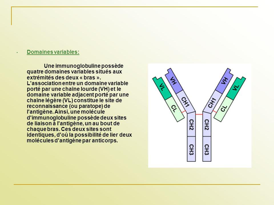 Domaines variables: Une immunoglobuline possède quatre domaines variables situés aux extrémités des deux « bras ». L'association entre un domaine vari