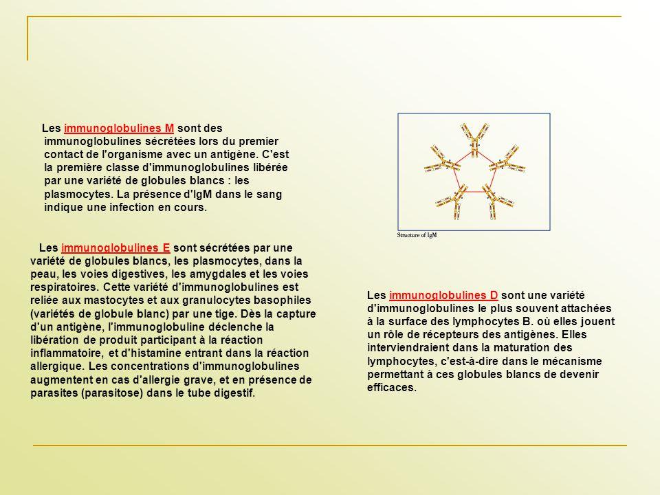 Les immunoglobulines M sont des immunoglobulines sécrétées lors du premier contact de l'organisme avec un antigène. C'est la première classe d'immunog