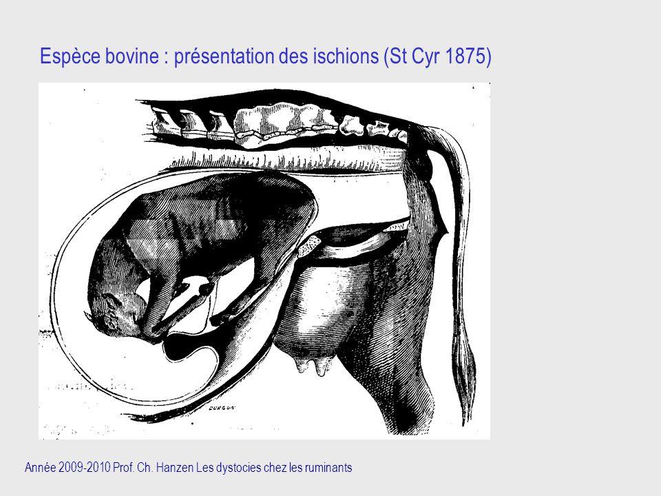 Année 2009-2010 Prof. Ch. Hanzen Les dystocies chez les ruminants Espèce bovine : présentation des ischions (St Cyr 1875)