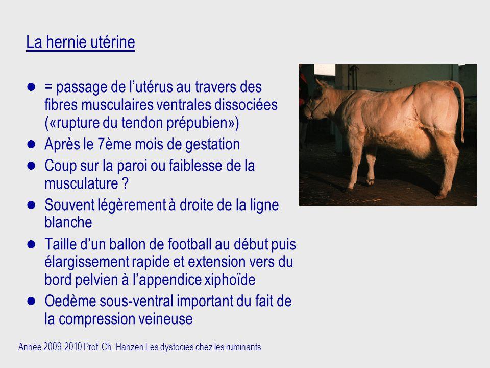 Année 2009-2010 Prof. Ch. Hanzen Les dystocies chez les ruminants La hernie utérine = passage de l'utérus au travers des fibres musculaires ventrales