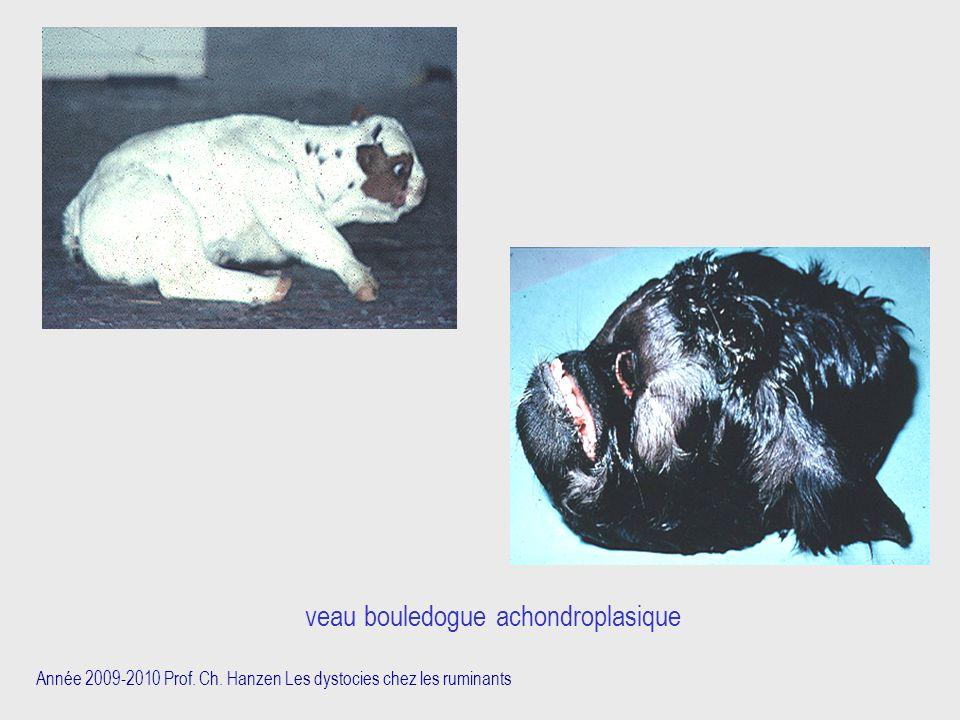 Année 2009-2010 Prof. Ch. Hanzen Les dystocies chez les ruminants veau bouledogue achondroplasique