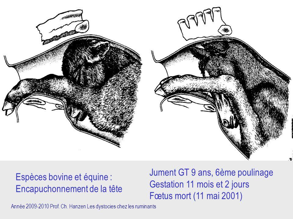Espèces bovine et équine : Encapuchonnement de la tête Jument GT 9 ans, 6ème poulinage Gestation 11 mois et 2 jours Fœtus mort (11 mai 2001)
