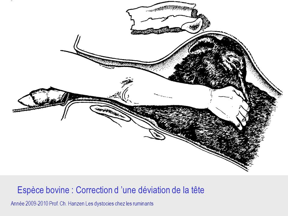 Année 2009-2010 Prof. Ch. Hanzen Les dystocies chez les ruminants Espèce bovine : Correction d 'une déviation de la tête