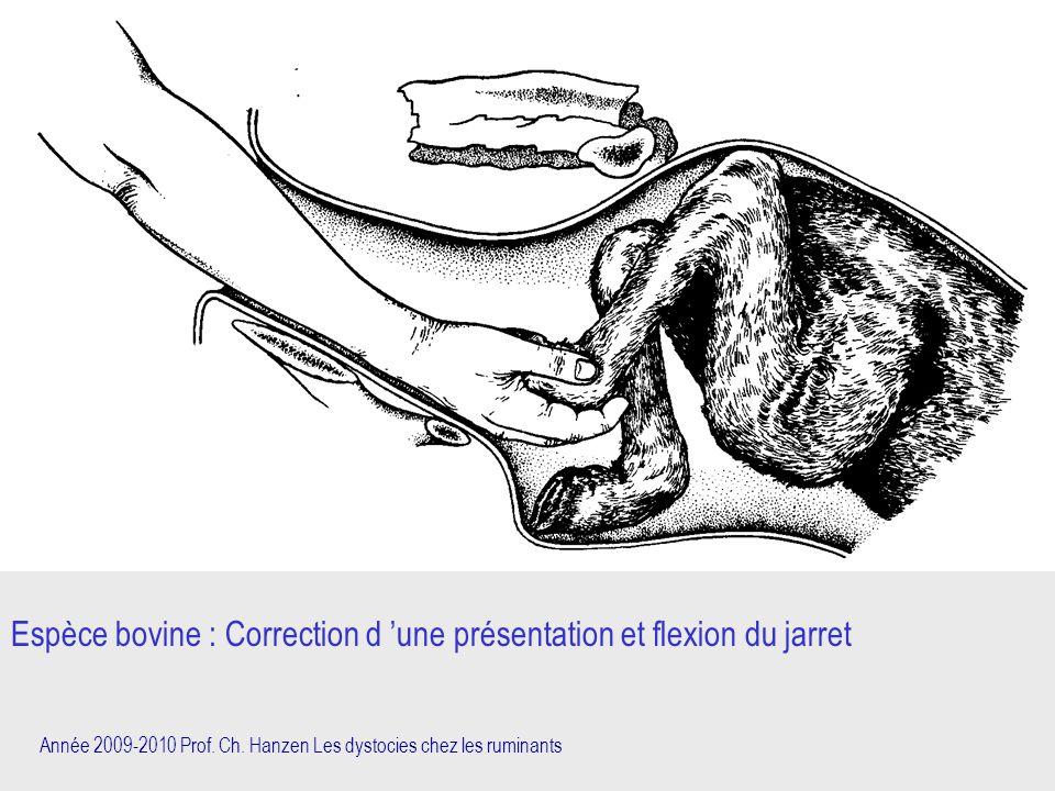 Année 2009-2010 Prof. Ch. Hanzen Les dystocies chez les ruminants Espèce bovine : Correction d 'une présentation et flexion du jarret