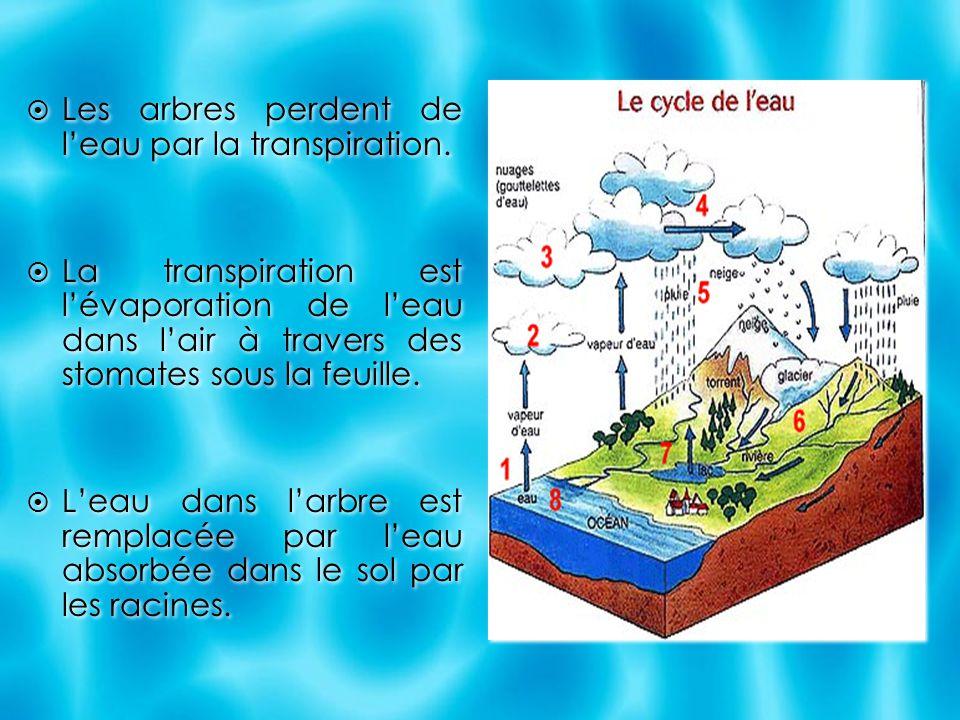  Les arbres perdent de l'eau par la transpiration.  La transpiration est l'évaporation de l'eau dans l'air à travers des stomates sous la feuille. 