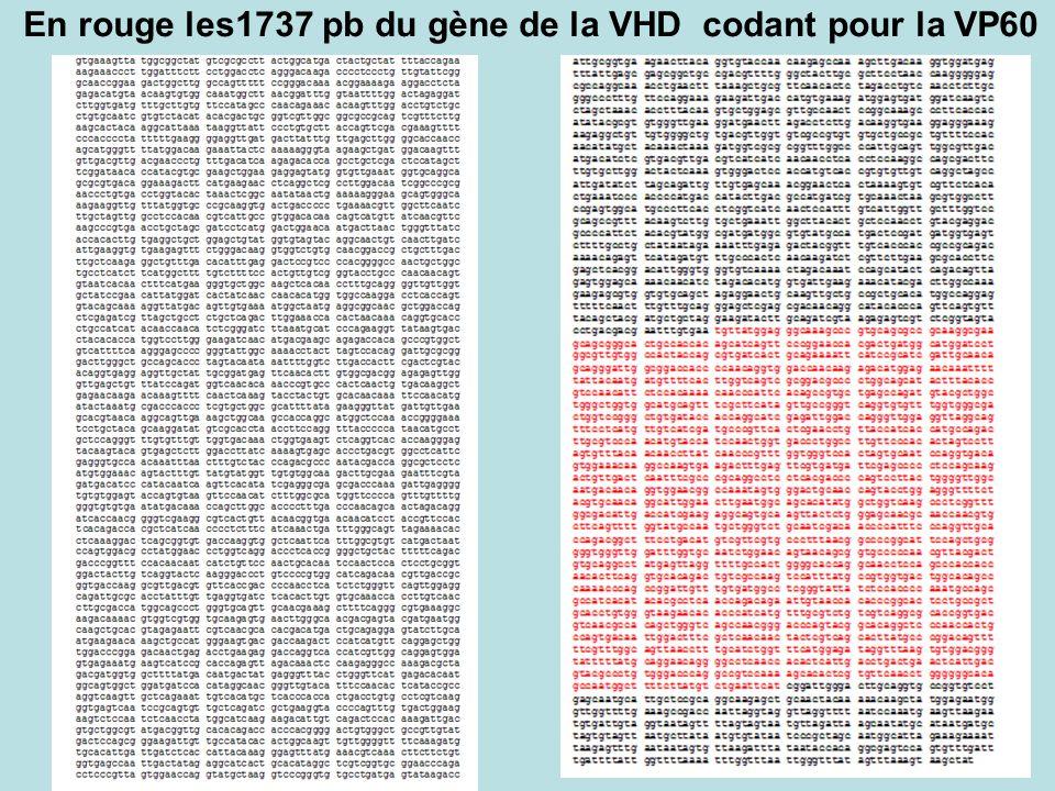 En rouge les1737 pb du gène de la VHD codant pour la VP60