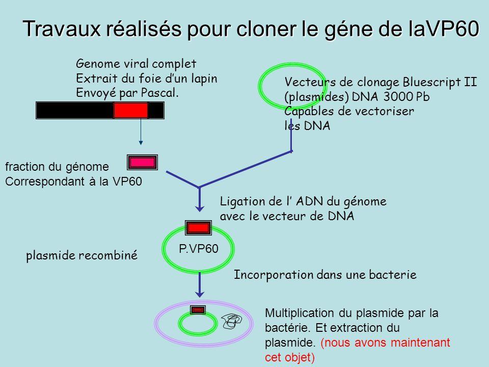 Travaux réalisés pour cloner le géne de laVP60 Genome viral complet Extrait du foie d'un lapin Envoyé par Pascal.