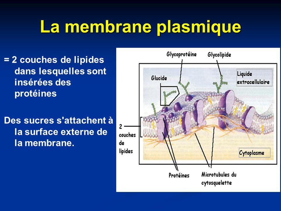 La membrane plasmique = 2 couches de lipides dans lesquelles sont insérées des protéines Des sucres s'attachent à la surface externe de la membrane.