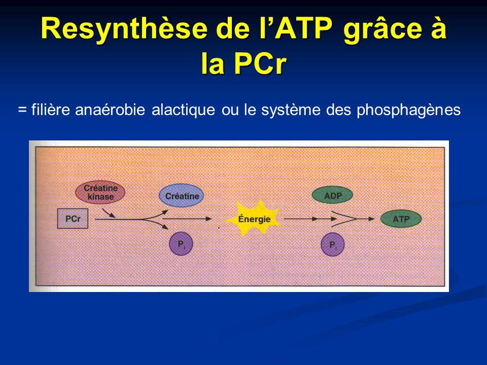 Resynthèse de l'ATP grâce à la PCr = filière anaérobie alactique ou le système des phosphagènes