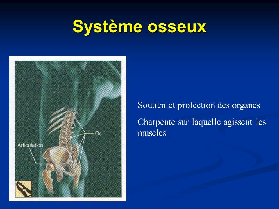 Système osseux Soutien et protection des organes Charpente sur laquelle agissent les muscles