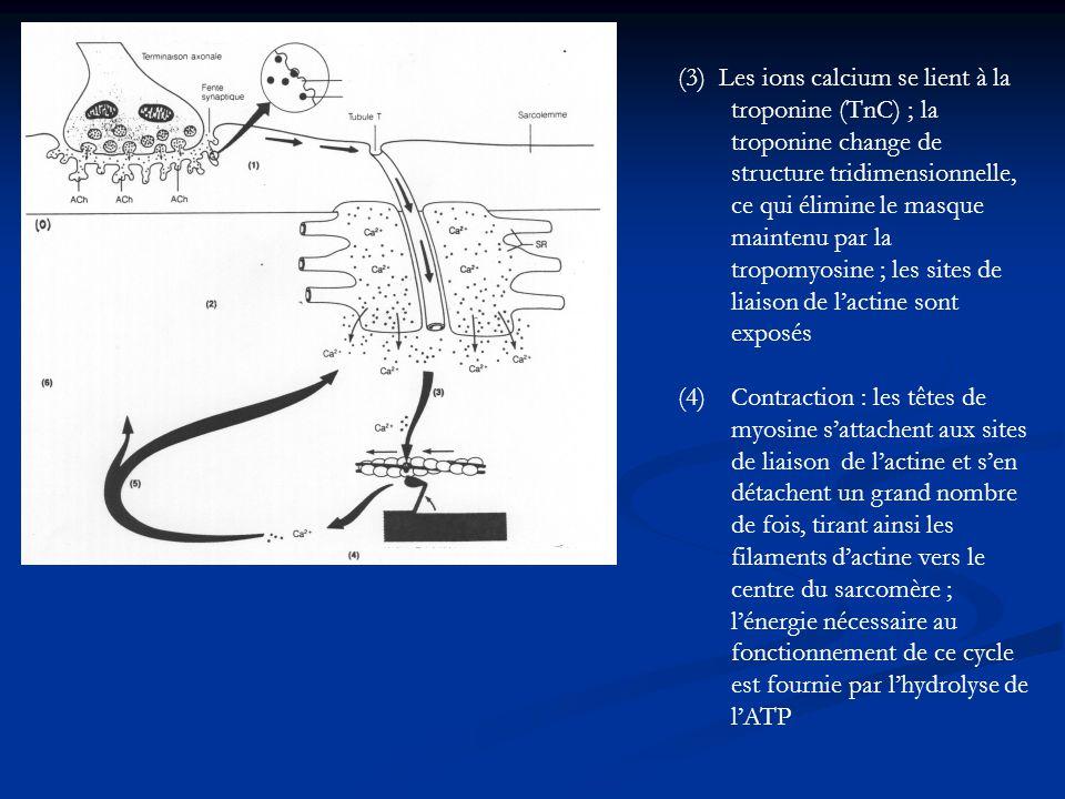 (3) Les ions calcium se lient à la troponine (TnC) ; la troponine change de structure tridimensionnelle, ce qui élimine le masque maintenu par la trop