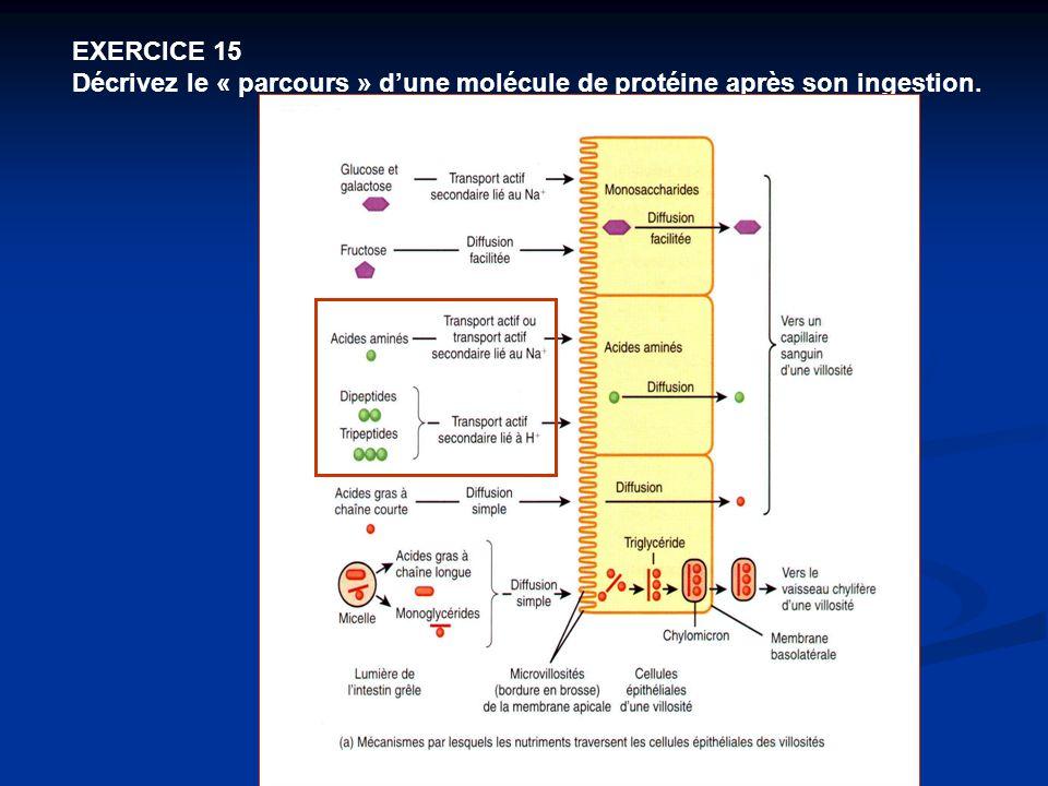 EXERCICE 15 Décrivez le « parcours » d'une molécule de protéine après son ingestion.