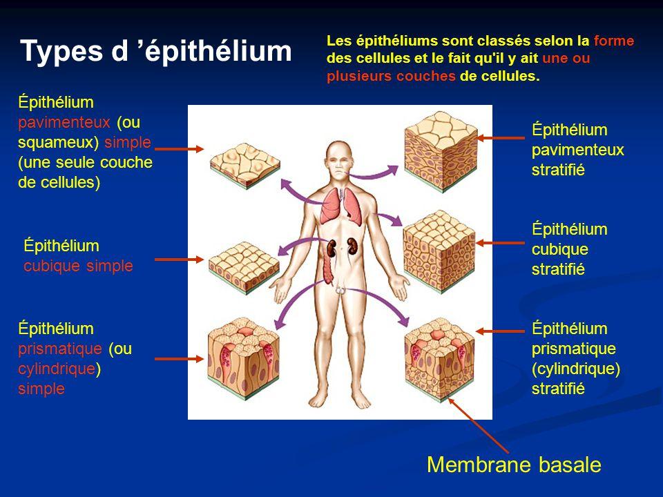 Épithélium pavimenteux (ou squameux) simple (une seule couche de cellules) Épithélium cubique simple Épithélium prismatique (ou cylindrique) simple Ép